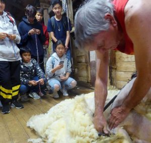 Shearing demonstration at The Woolshed